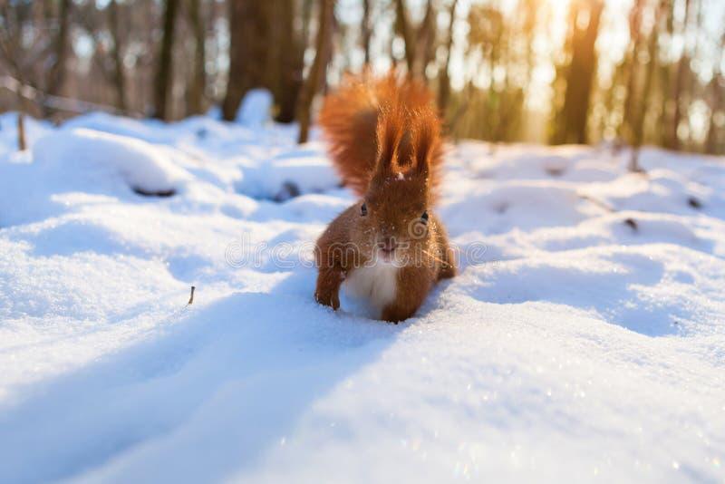 Eichhörnchen im schneebedeckten Wald, der Kamera betrachtet lizenzfreie stockfotografie