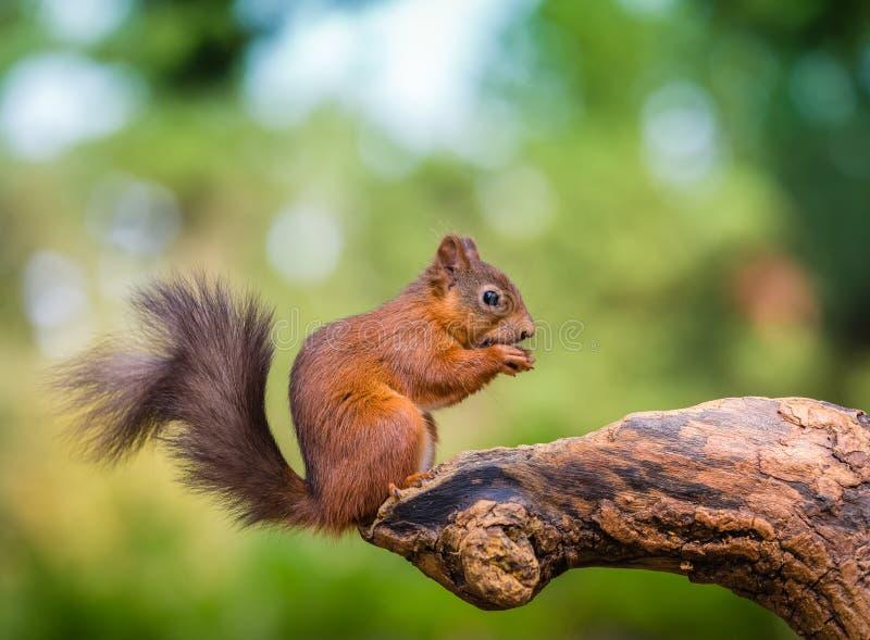 Eichhörnchen im Waldland stockfotos