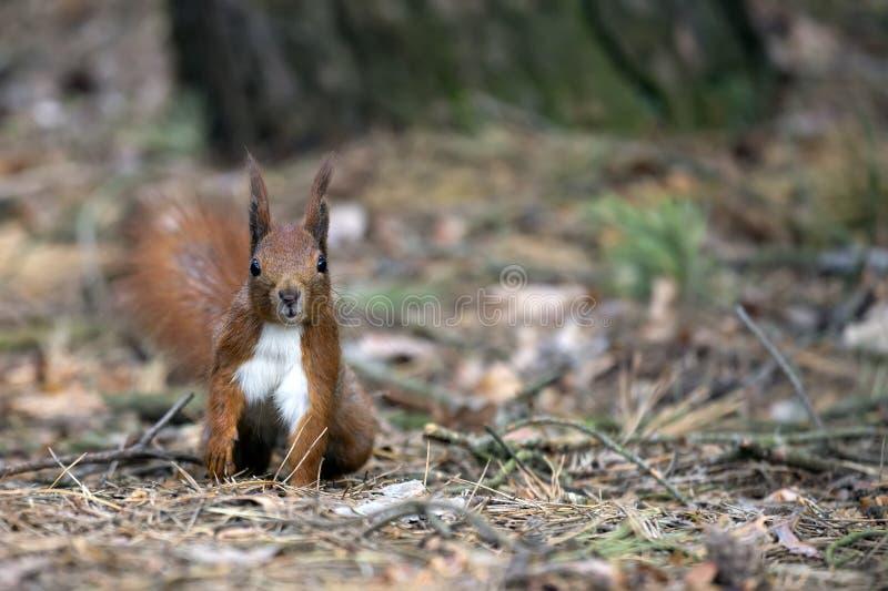 Eichhörnchen im wilden lizenzfreie stockfotografie