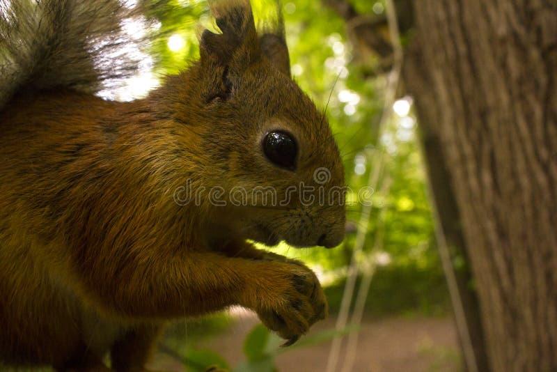 Eichhörnchen im wilden zerfrisst Nüsse stockfotografie