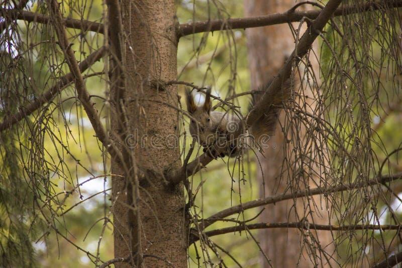 Eichhörnchen isst Nahrung an der Abflussrinne lizenzfreie stockfotografie