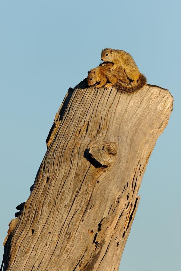 Eichhörnchen-Liebe stockbild