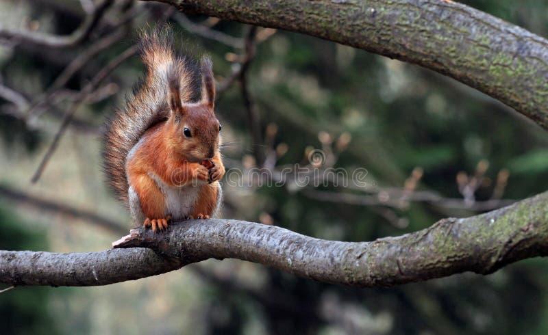 Eichhörnchen mit einer Mutter stockbild