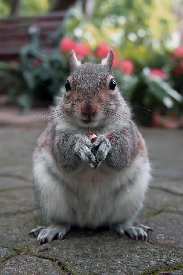 Eichhörnchen mit einer Nuss in einem Stadtpark lizenzfreie stockbilder