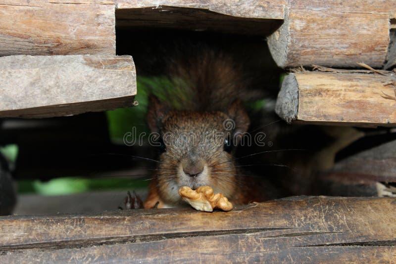 Eichhörnchen mit einer Nuss im hölzernen Kratzer lizenzfreie stockfotos