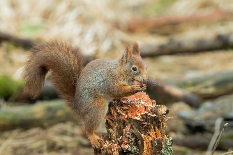 Eichhörnchen mit Haselnuss lizenzfreie stockfotografie