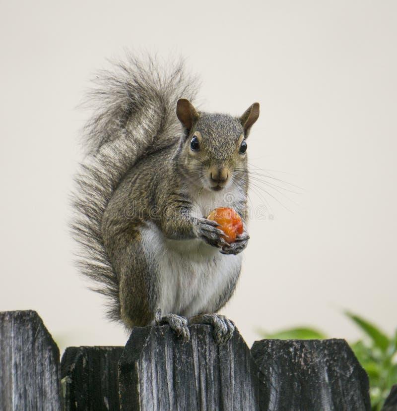 Eichhörnchen mit roter Beere lizenzfreie stockbilder