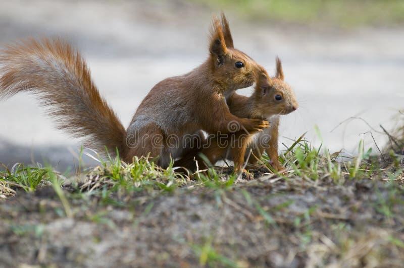 Eichhörnchen mit seinem joey lizenzfreie stockfotos