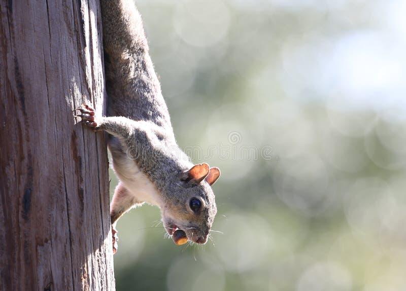 Eichhörnchen-nahes hohes lizenzfreie stockbilder