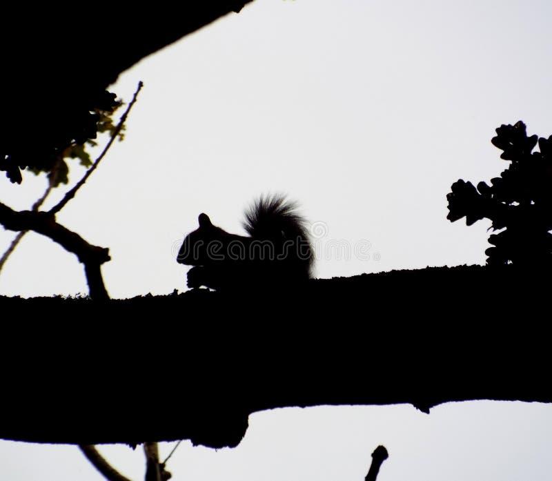 Eichhörnchen-Schattenbild stockbilder