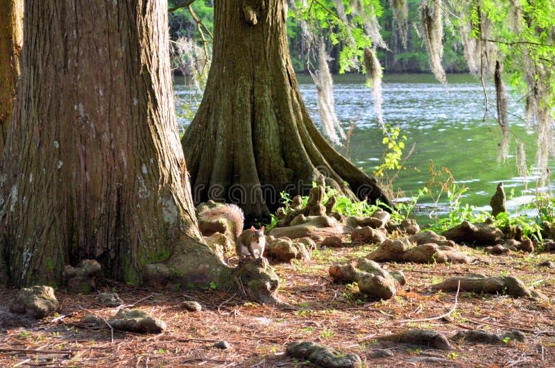 Eichhörnchen Sciuridae, der auf Zypresse-Baum-Knie sitzt lizenzfreies stockfoto