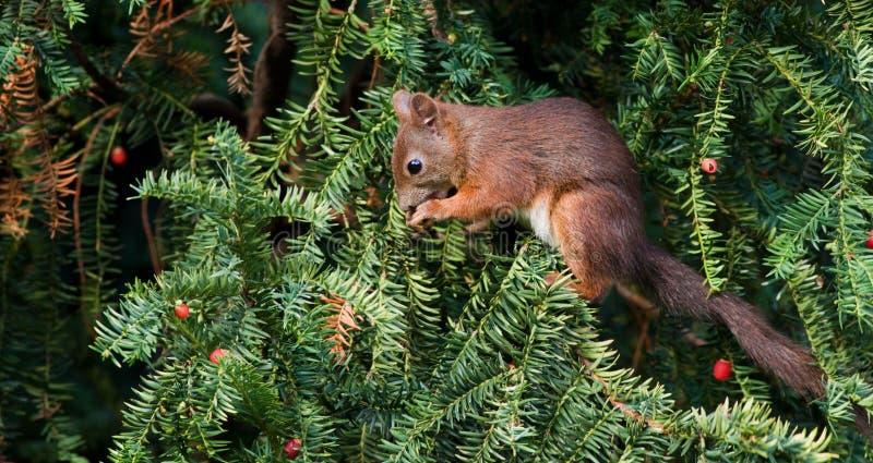 Eichhörnchen (Sciurus gemein) lizenzfreie stockfotos