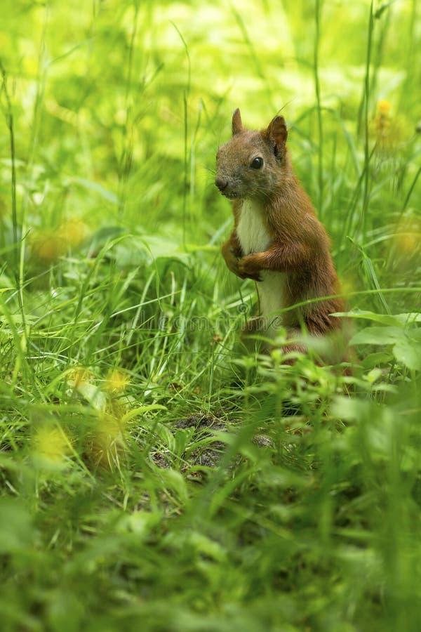 Eichhörnchen (Sciurus gemein) auf dem grünen Gras lizenzfreie stockfotos