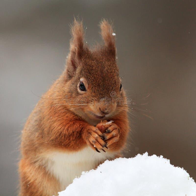 Eichhörnchen (Sciurus gemein) im Schnee lizenzfreies stockfoto