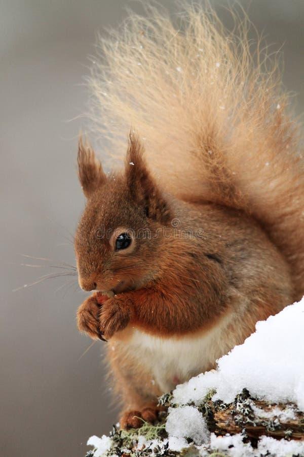 Eichhörnchen (Sciurus gemein) im Schnee stockfoto