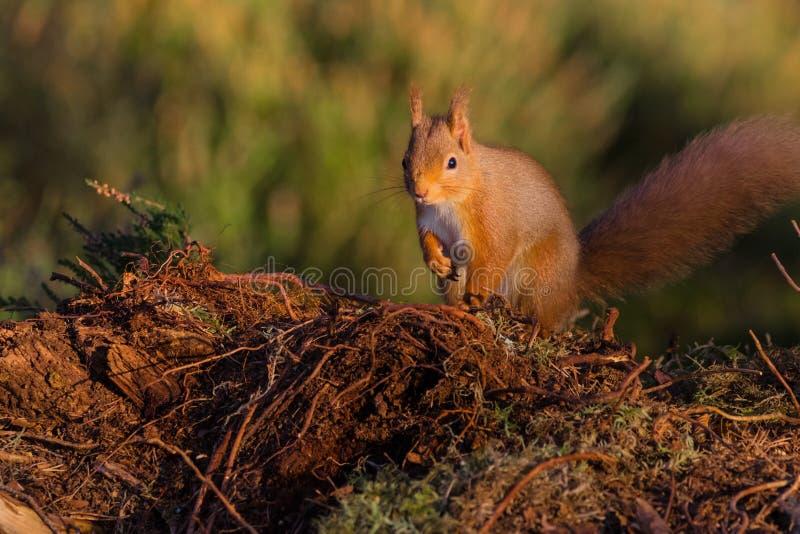Eichhörnchen Sciurusgemeines gesessen aus den Grund stockfotografie