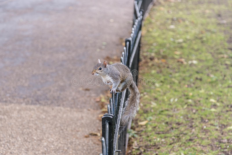 Eichhörnchen in St. James Park in London, Großbritannien lizenzfreie stockfotos
