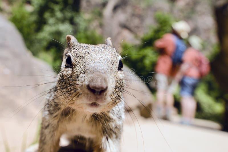 Eichhörnchen Uinta Groung lizenzfreie stockbilder