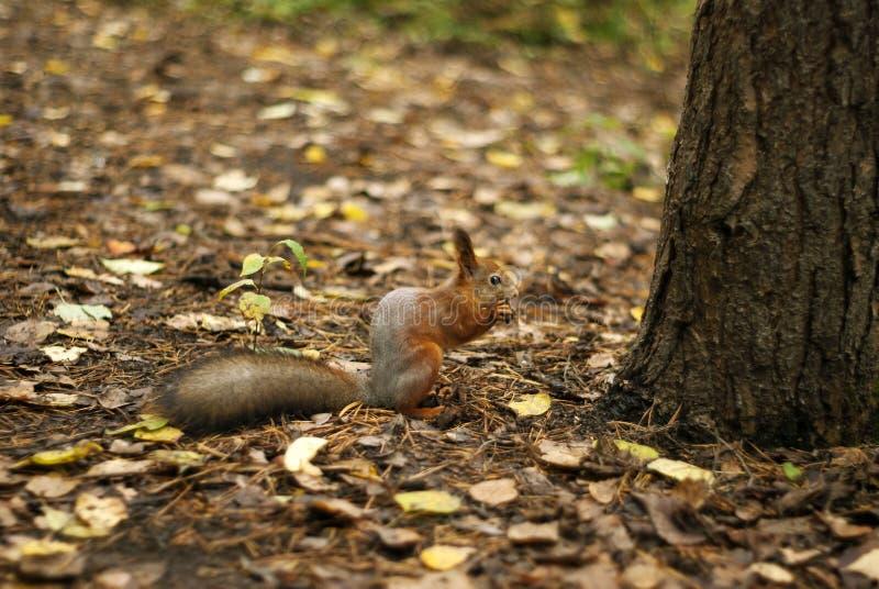 Eichhörnchen unter einem Baum stockfotos