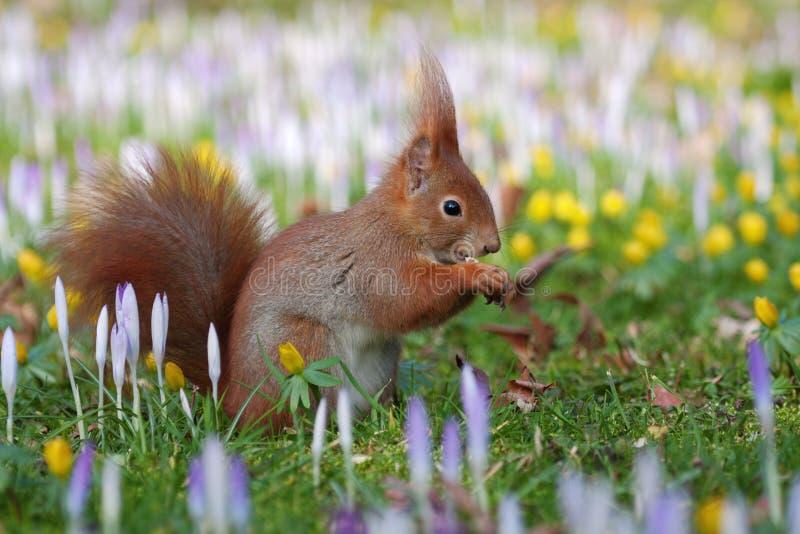 Eichhörnchen zwischen crocusses stockbild