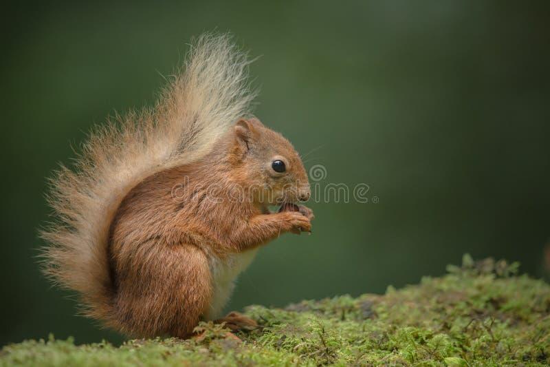 Eichhörnchenessen. lizenzfreie stockbilder