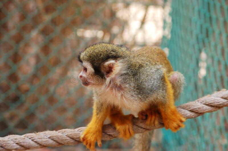 Eichhörnchenfallhammer. lizenzfreies stockfoto
