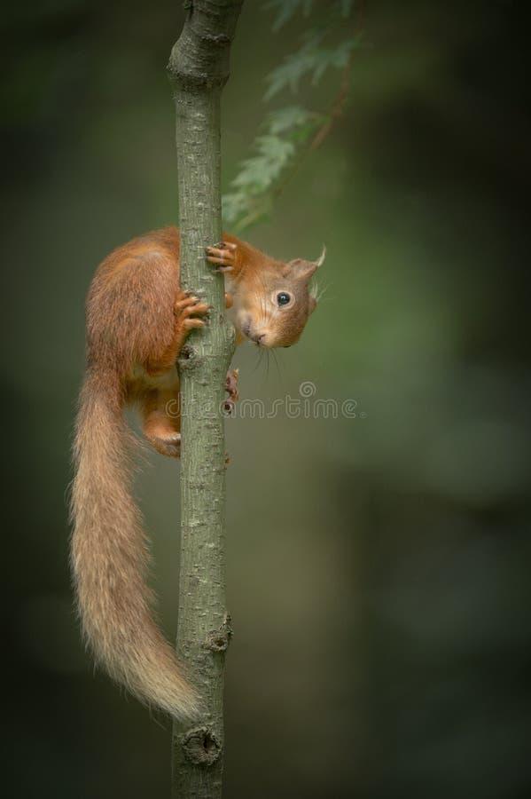 Eichhörnchenklettern. stockfotografie