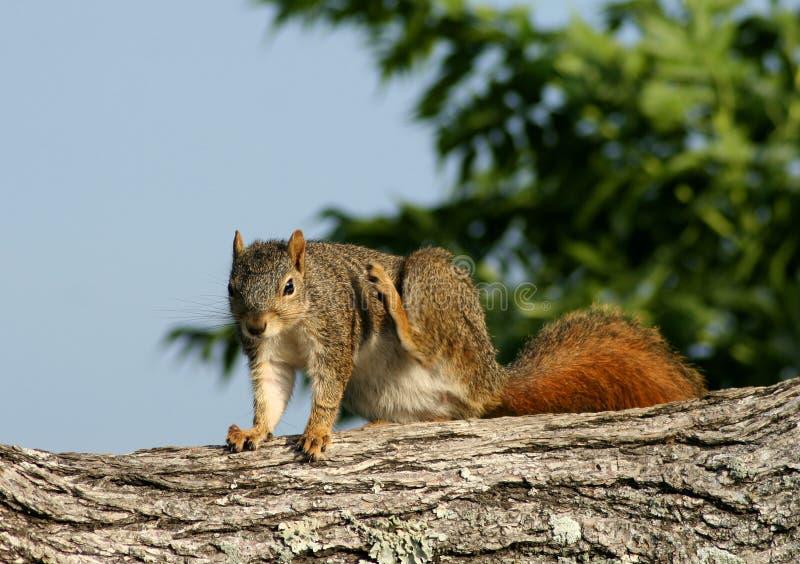 Eichhörnchenlöschen stockbilder