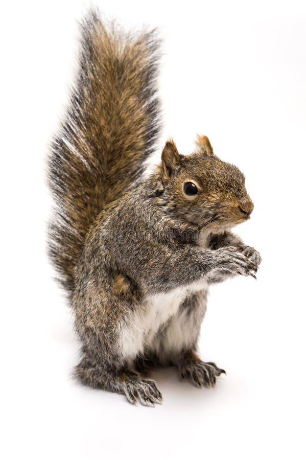 Eichhörnchenstellung lizenzfreies stockbild