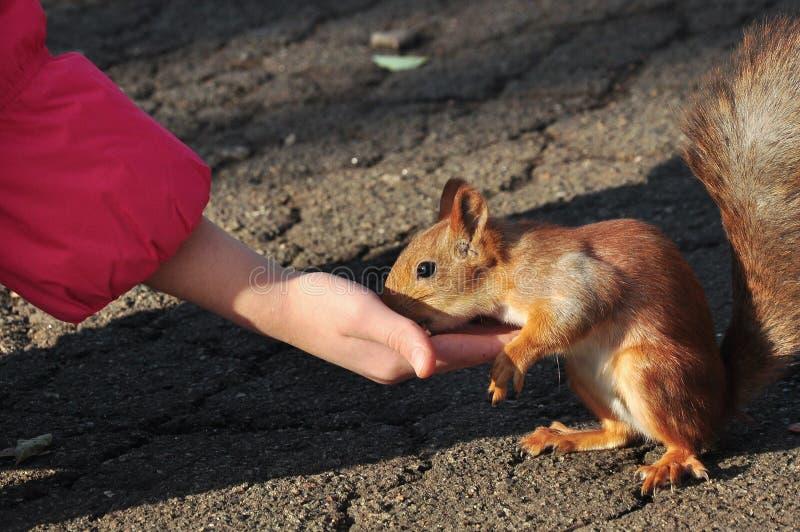 Eichhörnchenzufuhren lizenzfreies stockbild