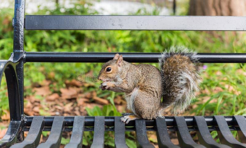 Eichh?rnchen in Central Park stockbilder