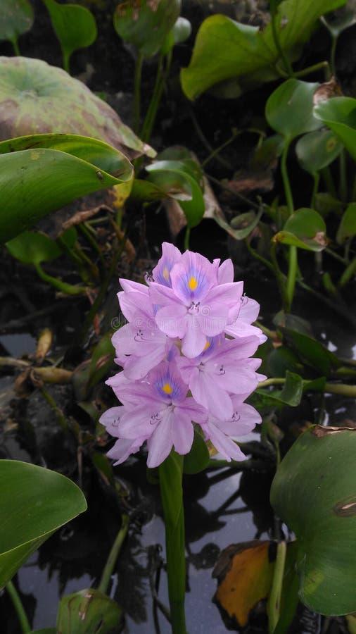 Eichhornia crassipes immagini stock libere da diritti