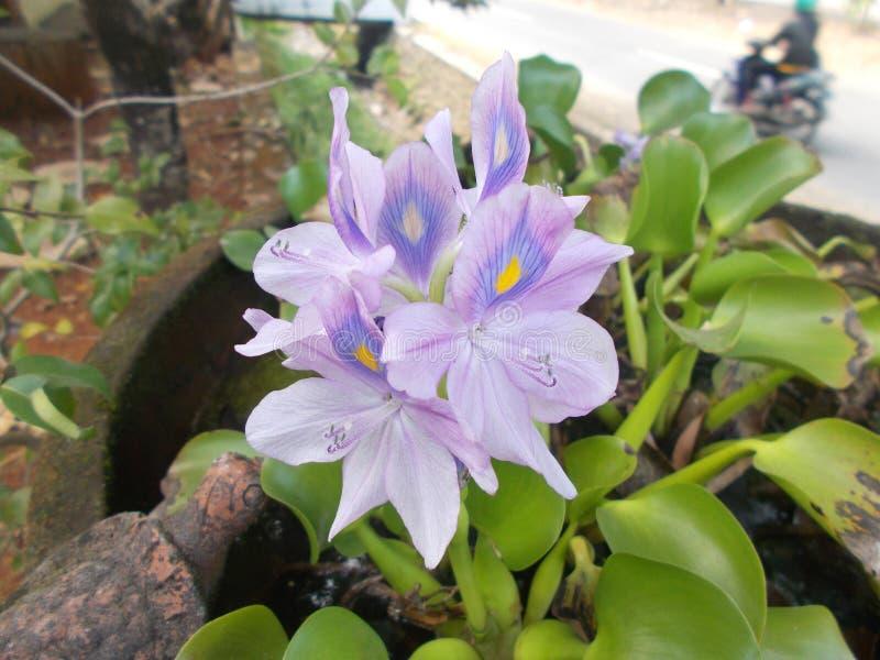 Eichhornia crassipes flower 2 closeups. Water hyacinth or Eichhornia crassipes flowers closeups royalty free stock image