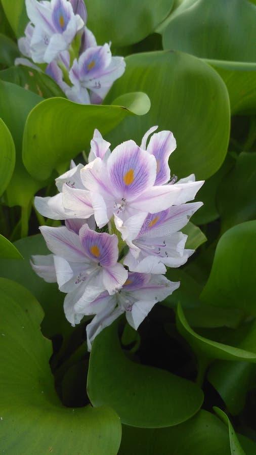 Eichhornia kwitnie na sztucznych jeziorach zdjęcia royalty free