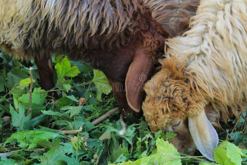 Eid al-Adha, la alimentación sacrificatoria de las ovejas imágenes de archivo libres de regalías
