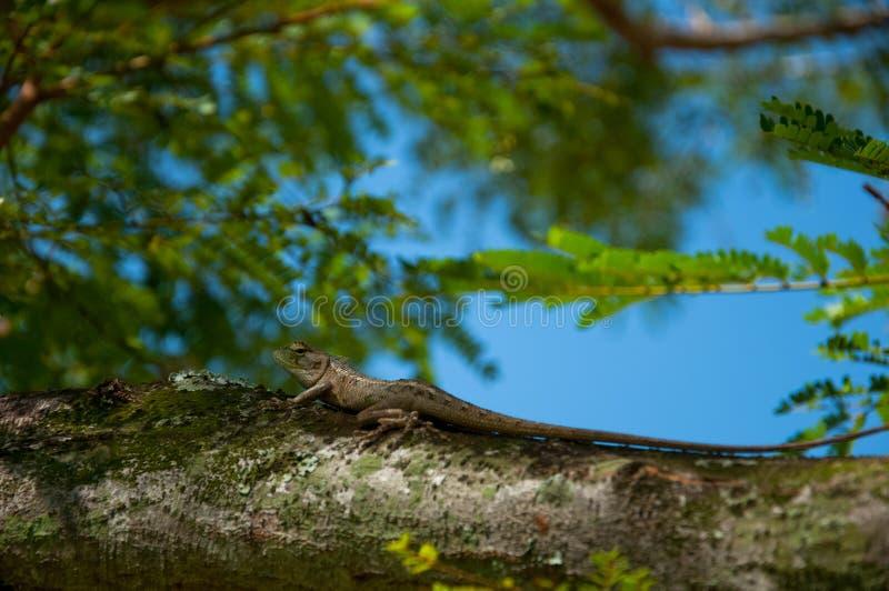 Download Eidechse stockfoto. Bild von tropen, ökologie, heck, kabel - 12201904