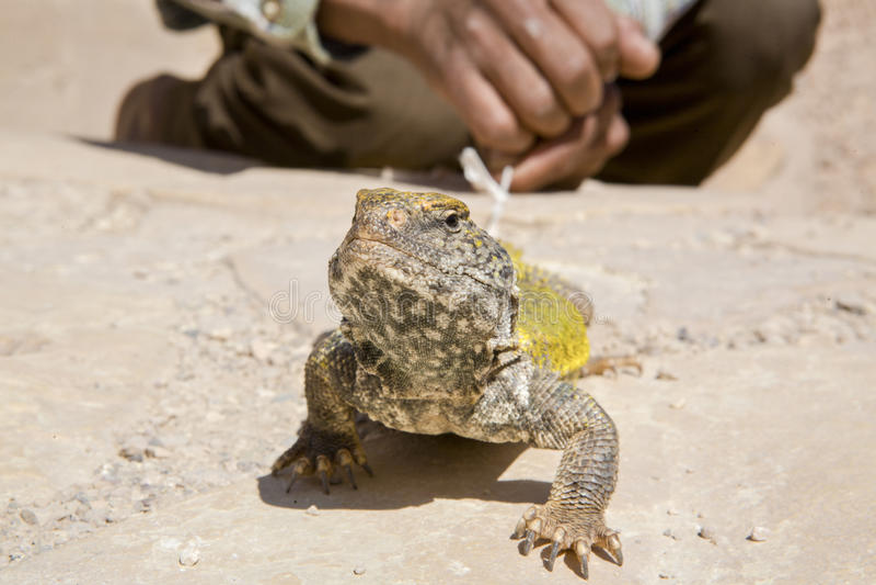 Eidechse als Haustier, Marokko stockfotos