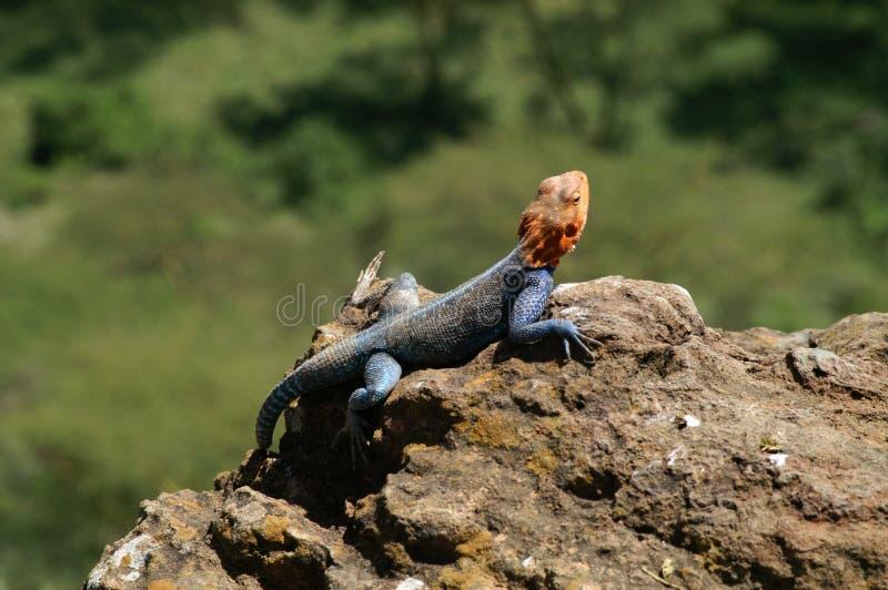 Eidechse auf dem Felsen lizenzfreies stockfoto
