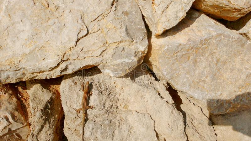 Eidechse auf Flusssteinen 4 stockfotografie