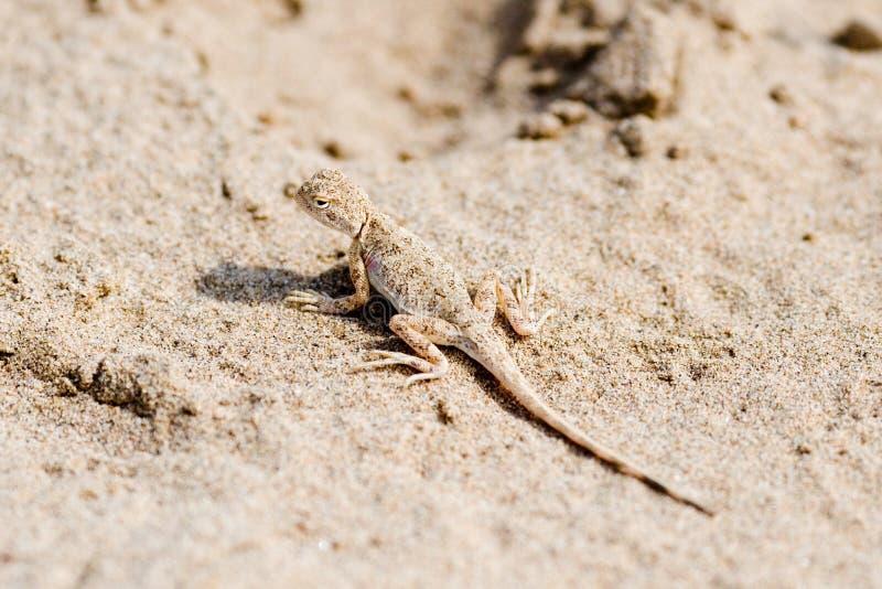 Eidechse auf Sand stockfotografie