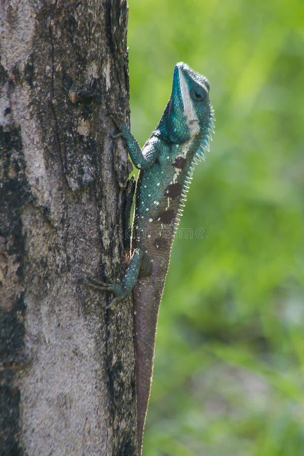 Eidechse Blau-mit Haube auf dem Baum lizenzfreies stockbild