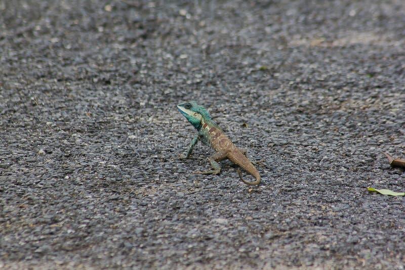 Eidechse Blau-mit Haube auf dem Boden stockbild