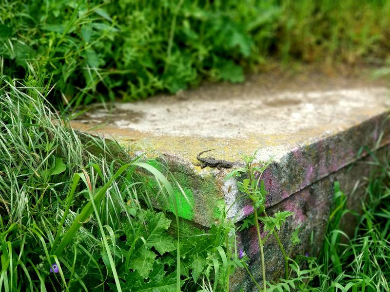 Eidechse in der Natur stockfotografie