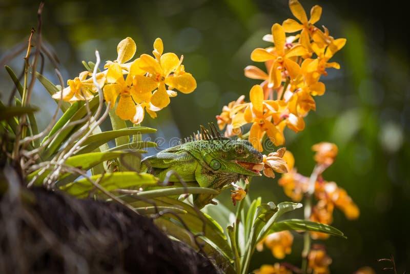 Eidechse, die eine Blume isst stockfotografie