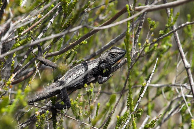 Eidechse, die im Busch im königlichen Nationalpark ein Sonnenbad nimmt stockfoto
