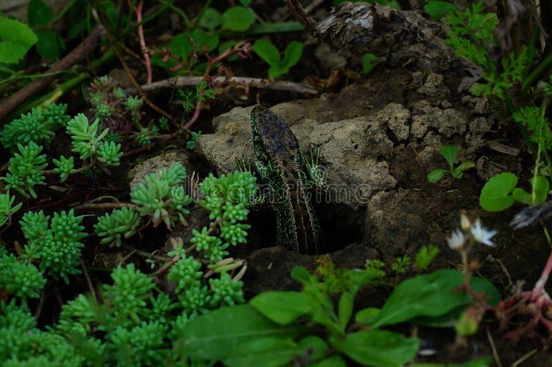 Eidechse in einem Garten lizenzfreie stockfotografie