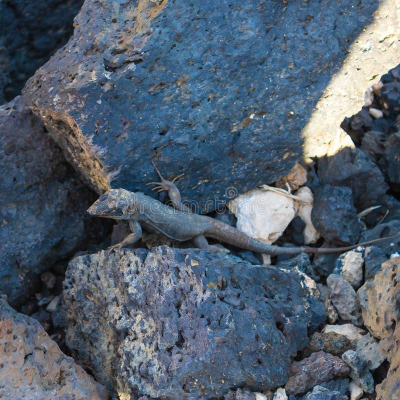 Eidechse Gallotia-galloti galloti, das zwischen die vulkanischen Steine, Kanarische Inseln, Teneriffa, Spanien - Bild sich bewegt stockfotografie