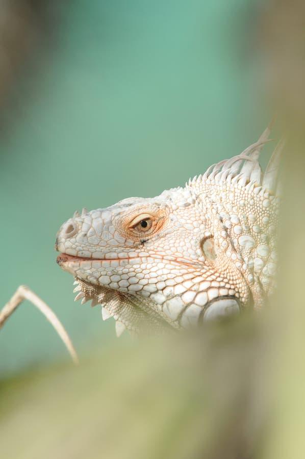 Eidechse - Iguane - Leguan lizenzfreie stockfotografie