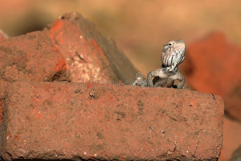 Eidechsen und Reptilien in Sri Lanka stockfotos