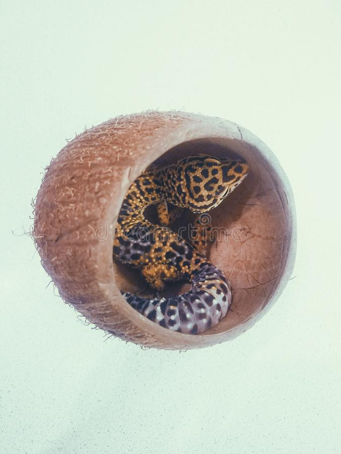 Eidechsengecko eublepharis in der Kokosnuss lizenzfreies stockfoto
